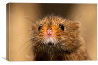 Harvest Mouse Close Up, Canvas Print
