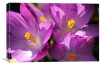 Crocus, Canvas Print