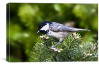 Coal Tit, Canvas Print