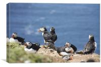Puffin Colony, Canvas Print