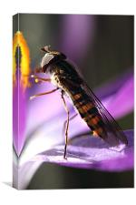 Figwort Wasp, Canvas Print