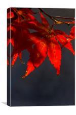 Acer Leaf, Canvas Print