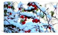 Snow berries, Canvas Print