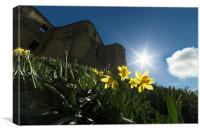 Warkworth Daffodils - Into the Sun, Canvas Print