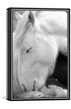 Sleeping pony, Canvas Print
