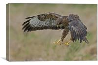 The Common Buzzard (Buteo buteo), Canvas Print