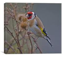 Goldfinch (Carduelis carduelis), Canvas Print