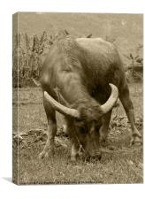 Water Buffalo, Canvas Print
