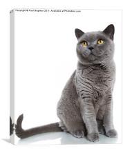 British Blue Shorthair Cat, Canvas Print