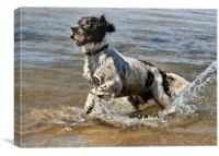 English Springer Spaniel Playing in Water, Canvas Print