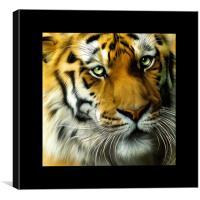 Sumatran Tiger Square portrait, Canvas Print