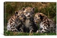 Snow Leopard Cubs, Canvas Print