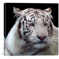 Royal Bengal White Tiger, Canvas Print
