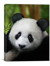 Giant Panda, Canvas Print