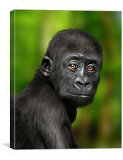 Little Baby Gorilla, Canvas Print