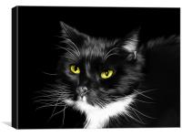 Sox - Domestic Black and White Cat, Canvas Print