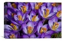 Crocuses, Canvas Print