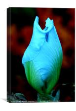 Hibiscus Bud, Canvas Print