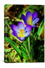Shaded Crocus, Canvas Print