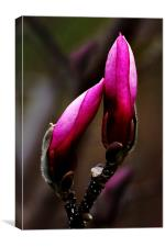 Magnolia Buds, Canvas Print