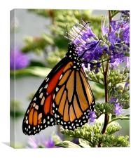Monarch in Early Morning