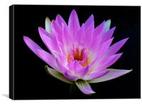 Waterlily - The Queen of the Water, Canvas Print