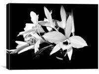 white orchids, Canvas Print