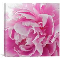 Pink Peony, Canvas Print