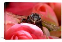 Hairy-footed Flower Bee, Canvas Print