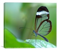 Glasswing (Greta Oto), Canvas Print