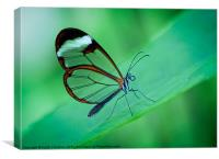 Glasswing Butterfly, Canvas Print