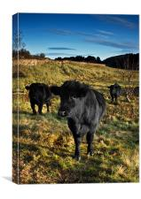 Three Black Bulls, Canvas Print