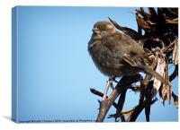 Female Tree Sparrow, Canvas Print
