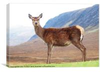 Deer at Glencoe, Canvas Print