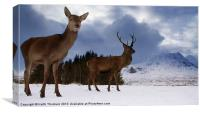Highland Deer, Canvas Print