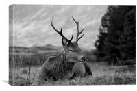 Highland Deer Sitting, Canvas Print