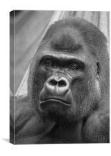 Western Lowland Gorilla, Canvas Print