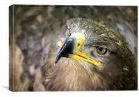 Steppe Eagle, Canvas Print