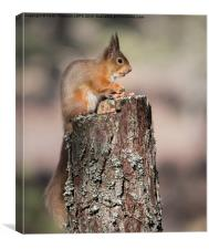 Red Squirrel with nut in mouth, Canvas Print