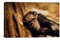 Chimpanzee, Canvas Print