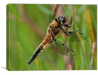 Four-Spotted Chaser, Canvas Print