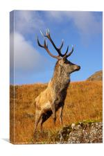 Wild Red Deer Stag, Canvas Print