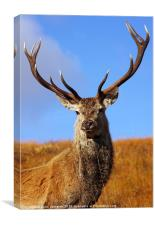 Wild Red Deer Stag., Canvas Print