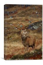 Wild Red Deer Stag., Canvas Print
