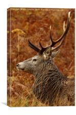 Highland Stag., Canvas Print
