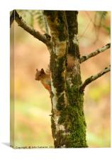 Red Squirrel on Birch Tree., Canvas Print