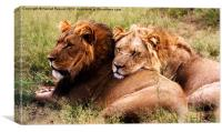 Lion Brothers, Botswana, Canvas Print