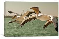 Pelicans, Walvis Bay, Namibia