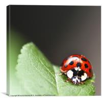 Ladybird Beetle, Canvas Print