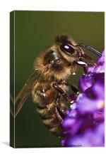 Bee on Budleja, Canvas Print